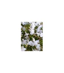 More about Lobelka drobná nízká - směs - Lobelia erinus - semena Lobelky - 1000 ks