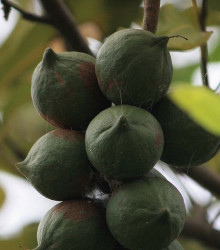 Makadámie - Macademia integrifolia - ósivo makadámie - 2 ks
