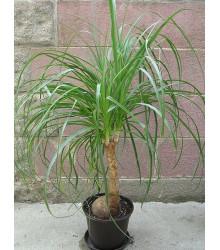 More about Nolina - Sloní noha - Nolina longifolia - osivo noliny - 5 ks