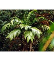 Palma mexická - Geonomma Interrupta - osivo palmy - 5 ks