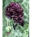 Mák Black Peony - Papaver somniferum - prodej semen - 20 Ks