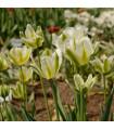 Tulipán - Spring green - prodej cibulovin - holandské tulipány - 3 ks