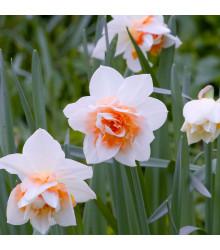 Narcis Replete - Narcissus - cibule narcisů - 3 ks