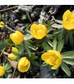 Talovín - Eranthis cilicica - cibule talovínu - 3 ks