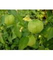 Rajčenka zelená- Tomatillo- 5 ks
