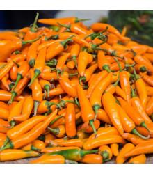 Chilli Bulharská mrkev - Capsicum annuum - osivo chilli - 6 ks