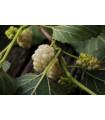 Morušovník bílý - prodej semen - rostlina Morus alba - 5 ks