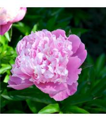 More about Pivoňka růžová Dr. Alex Flamming - Paeonia lactiflora - cibule pivoněk - 1 ks