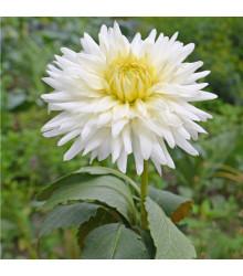 More about Jiřinka kaktusovitá White Star - Dahlia - cibule jiřinek - 1 ks