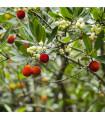 Jahodový strom - Arbutus unedo - prodej semen jahodového stromu - 5 Ks