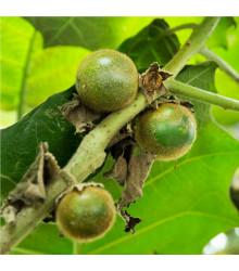 Narančila - Solanum quitoense - osivo narančily - 5 ks