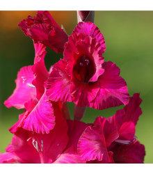 Gladiol Plum Tart - Gladiolus - cibule mečíků - 3 ks