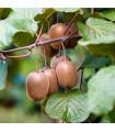 Kiwi čínské - Aktinidie - rostlina Actinidia chinensis - prodej semen kiwi - 5 ks