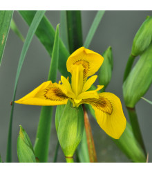More about Kosatec síťkovaný Danforda - Iris reticulata - cibule kosatce - 3 ks