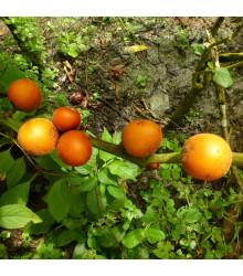 Solanum sessiliflorum - osivo solanum - 10 ks