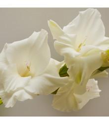 Gladiol White Prosperity - Gladiolus - cibule mečíků - 3 ks