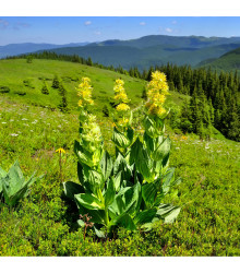 Hořec žlutý - Gentiana lutea - osivo hořce - 8 ks