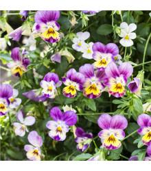 Violka rohatá Miss Helen Mount - Viola cornuta - osivo violky - 100 ks
