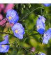 Len modrý - Linum perenne - semena lnu - 0,5 gr