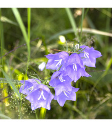 Zvonek broskvolistý modrý - Campanula persicifolia - osivo zvonku - 0,1 g