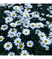 Kopretina bílá - Chrysanthemum leucanthemum max. - osivo kopretiny - 200 ks