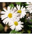 Kopretina bílá Alaska - Chrysanthemum leucanthemum max.- prodej semen - 0,4 gr