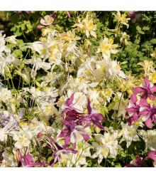 Orlíček Mc Kana směs barev - Aquilegia caerulea - osivo orlíčku - 0,3 g