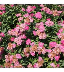 Řebříček tužebníkový Summer Berries F1 - Achillea millefolium - osivo řebříčku - 20 ks