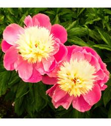 Pivoňka Bowl of Beauty - Paeonia lactiflora - cibule pivoněk - 1 ks