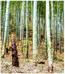 More about Bambus Balcooa - semena bambusu - 2 ks