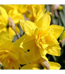 Narcis Golden Ducat - Narcissus - cibule narcisů - 3 ks