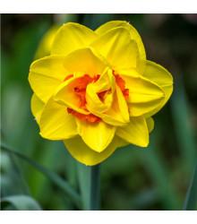 Narcis Tahiti - Narcissus - cibule narcisů - 3 ks
