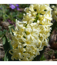 Hyacint City of Harleem - Hyacinthus - cibule hyacintů - 1 ks