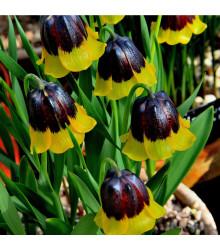 More about Řebčík Uva-vulpis - Fritillaria - cibule řebčíku - 2 ks