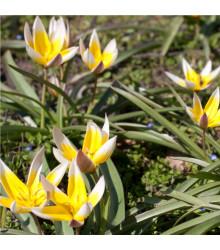 More about Tulipán pozdní Tarda - Tulipa - cibule tulipánů - 3 ks