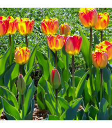 Tulipán Banja Luka - Tulipa - cibule tulipánů - 3 ks