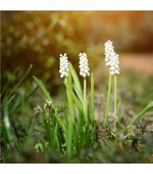 Modřenec White magic - Muscari aucheri - cibule modřence - 4 ks