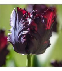 Tulipán Black Parrot - Tulipa - cibule tulipánů - 3 ks