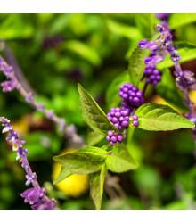 Krásnoplodka - Callicarpa acuminata - prodej semen - 8 Ks