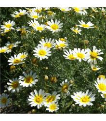 Chryzantéma jedlá - Chrysanthemum coronarium - osivo chryzantémy - 450 ks