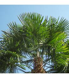 Palma konopná - Žumara ztepilá - Trachycarpus fortunei - osivo palmy - 2 ks