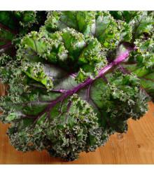 Kadeřávek Husar - Brassica oleracea L. - semena kadeřávku - 0,5 gr