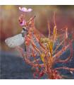 Rosnatka indická- Drosera indica- semena- 15 ks