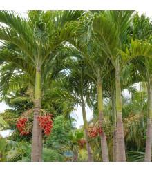 Palma vánoční - Adonidia merrillii - osivo palmy - 2 ks