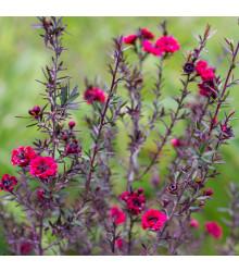 More about Balmín metlatý - Leptospermum scoparium - prodej semen - 10 ks