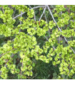 Turkestánský brest- Jilm sibiřský- Ulmus pumila- semena- 10 ks