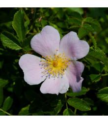 Růže šípková - Rosa canina - osivo růže - 5 ks