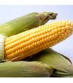 Kukuřice cukrová Ombra F1 - Zea mays - semena kukuřice - 15 ks