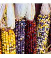 Kukuřice Amero okrasná - Zea mays - prodej semen kukuřice - 15 Ks