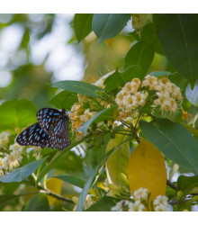 Ampák jasanolistý - Evodia fraxinifolia - semena ampáku - 7 ks
